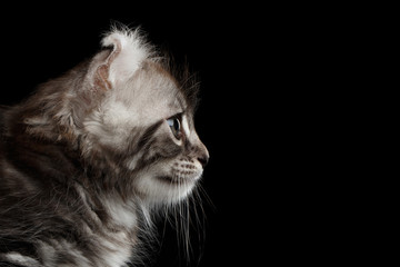 Close-up Portrait Fluffy American Curl Kitty with Twisted Ears Isolated Black Background, Profile view
