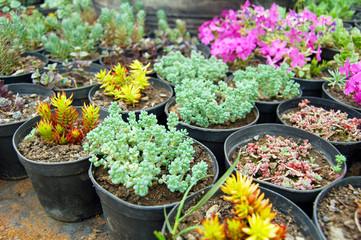 Various succulents in pots