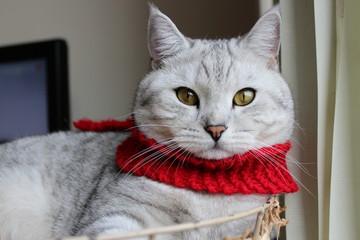 British Shorthair cat wearing red scarf