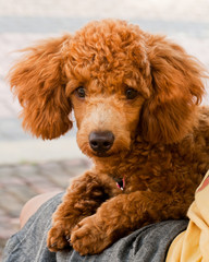 So cute dog poodle haired brown in outdoor