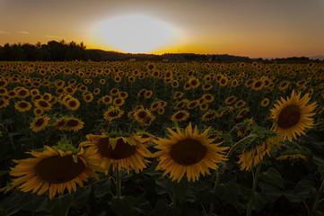 Campo di girasoli al tramonto estivo