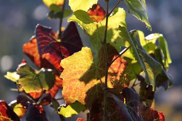 Weinrebe in den Weinbergen
