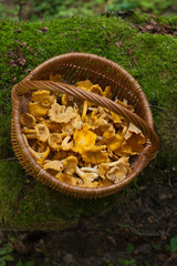 Mushrooms Chanterelle. Mushrooms Chanterelle In Wicker Basket On Old Log With Moss In Forest, Top View. Wicker Basket With Edible Mushrooms Chanterelle In Forest.