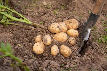 Potato And Spade