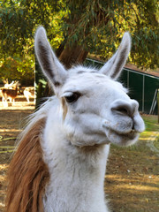 Llama lama face close up in petting zoo outdoors