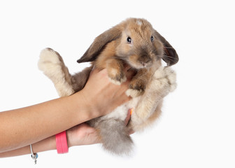 Pet. Rabbit isolated on white background