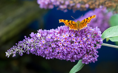 Comma butterfly feeding on a Buddleia flower in a Welsh garden. The Comma is relatively common in England and Wales, it's habitat now extending Northwards into Scotland probably due to global warming.
