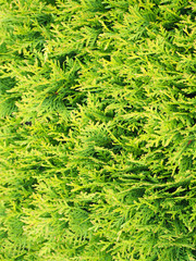 branches arborvitae (thuja) top view background