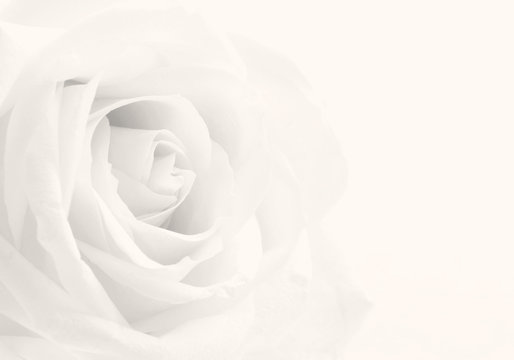 Beautiful toned white rose close-up as wedding background. Soft