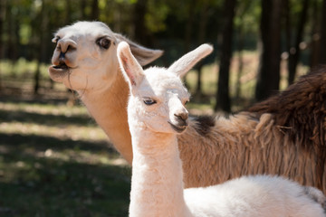 Mother and Baby Llama