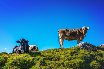 Herd of cows in a grassy rocky alpine pasture