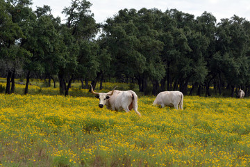 White Longhorn Pair in Yellow/Two white Longhorn cattle in field of yellow wildflowers.