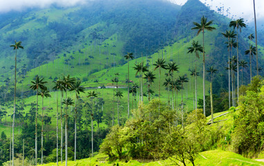 Cocora Valley Wax Palm Trees