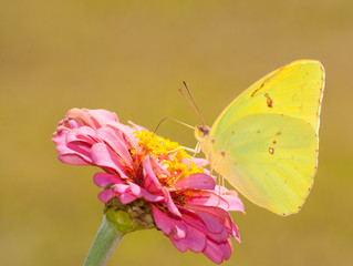 Beautiful bright yellow Cloudless Sulphur butterfly feeding on a pink Zinnia against muted green background