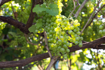 Ripe white grape branch, grape leaves background, tasty sweet fruits, warm sunlight through fresh green grapes leaves, vine produce, winery industry, vines valley