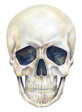 Human skull person is isolated on a white background. Watercolor drawing. Skull illustration art handwork