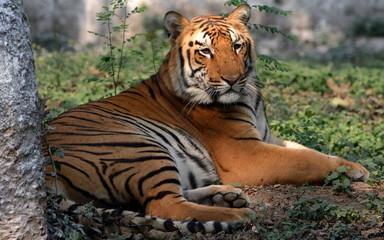 Fotobehang Tijger Royal Bengal Tiger