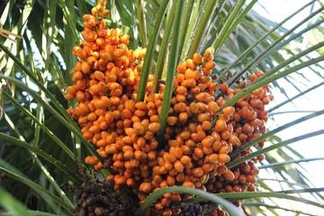 Оранжевые плоды на цветущих пальмовых деревьях.