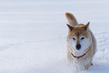 雪の上で遊ぶ柴犬