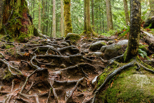 Abstract texture of tree roots in the rainforest of the Lynn Can