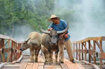 farmer and buffalo go away on the wood bridge,thailand