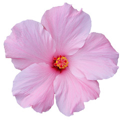 Hawaiian Pink Hibiscus isolated on white