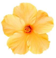 Hawaiian Yellow Hibiscus isolated on white