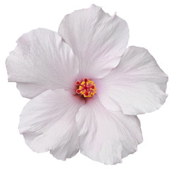 Hawaiian White Hibiscus isolated on white