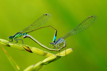 little dragonfly, Damselflies, copulating, reproducing in a triangle harmonious shape of rice paddy