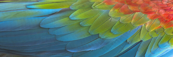 Colorful of macaw bird's feathers, exotic nature background and texture ,macaw feathers
