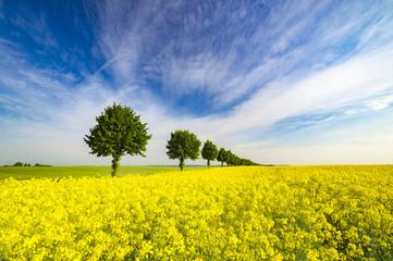 Fototapeta wiosenne pole,zielone zboże,zielone drzewka,błękitne niebo obraz