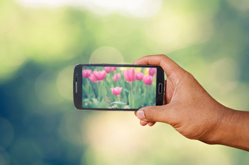 Hand holding smart phone focused on tulips flower