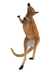 3D Rendering Kangaroo on White