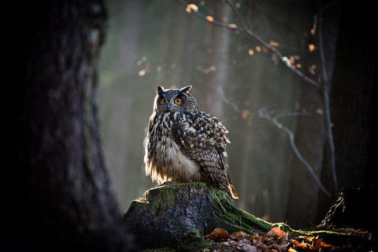 Eagle Owl is sitting on the tree stump.