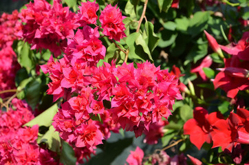 red Bougainvillea flowering  with big beauty flower