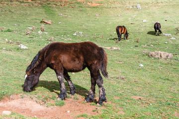 Potro y caballos pastando. Parque Natural de Las Ubiñas y La Mesa, Asturias.