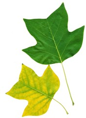 green and yellow leaf of plane tree