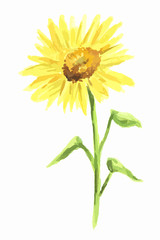 Isolated watercolor sunflower on white background. Summer flower. Beautiful garden illustration.