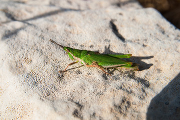 Insect. Green locust sit on the stone in the sunny day. Israel