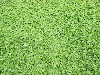 siatic Pennywort, is a plant that indicated in the treatment of diseases