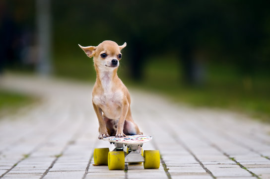 The little red-haired chihuahua dog sitting on a skateboard. A dog on a white skateboard with white wheelson the sidewalk tile is in the park.