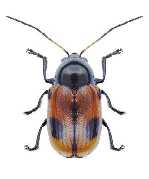 Beetle Cryptocephalus bipunctatus on a white background