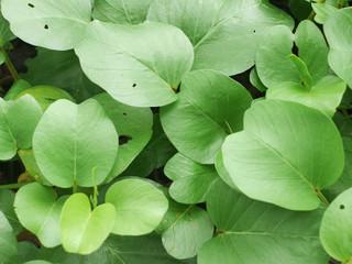 Ipomoea pes-caprae Sweet ( Ipomoea pes-caprae (L.) R.Br.)