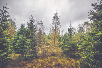 Cloudy weather in a pine tree forest