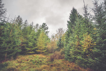 Forest with pine and birch trees