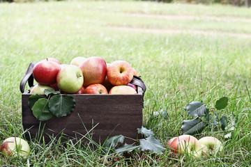 Bushel of Apples At Orchard