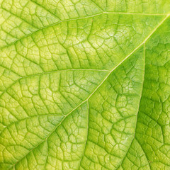 leaf texture ( Clerodendrum chinense (Osbeck) Mabb., Glory Bower, Labiatae )