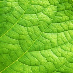 leaf texture ( Clerodendrum chinense (Osbeck) Mabb., Glory Bower, Labiatae )