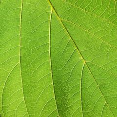 leaf texture ( Bastard Teak, Bengal Kino, Kino Tree, Flame of the Forest )