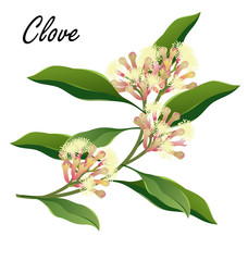 Clove  tree branch with flowers (Syzygium aromaticum). Vector illustration, isolated on white.
